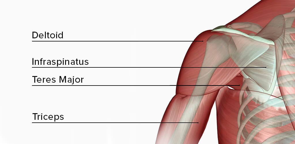 Names of the muscles that make up the shoulder.