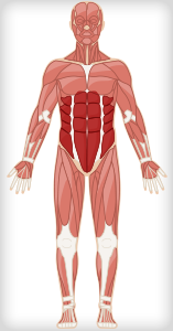 Ab workouts target the ab muscles as shown on this human body illustration