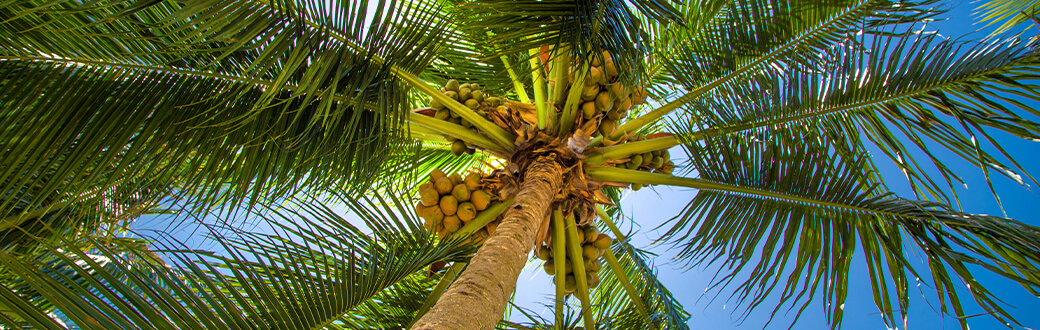 Coconuts in a palm tree.